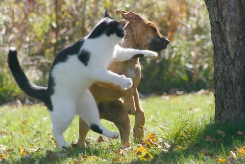 Combat chat et chien