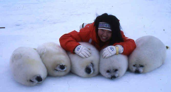 L'IFAW consternée par l'autorisation de chasse aux derniers bébés phoques