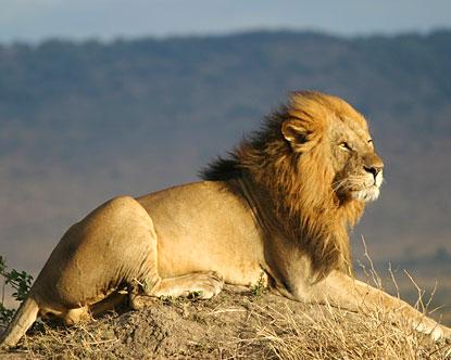 Lion zoo