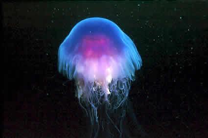Grosse méduse