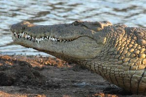 Immense crocodile