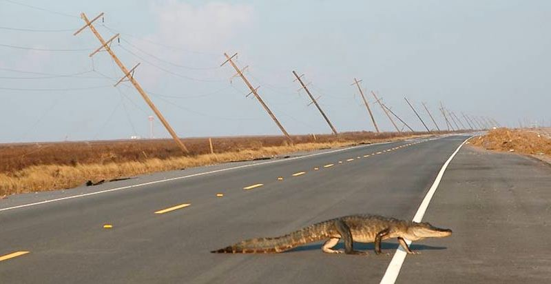 alligator qui traverse la rue