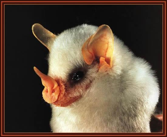 http://www.villiard.com/images/animaux/chauve-souris/blanches/tete-chauve-souris.jpg