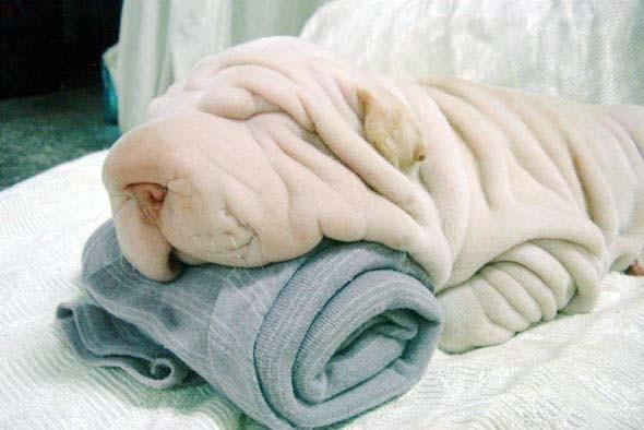 serviette-chien
