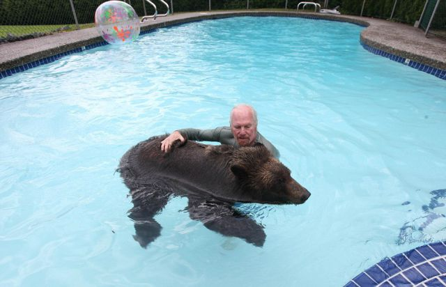 Un ours brun comme animal de compagnie for Petit ours brun a la piscine