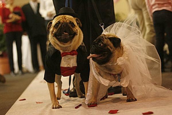 mariage de chiens - couple