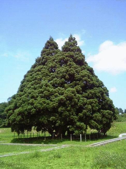 Un immense arbre!