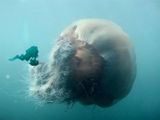 http://www.villiard.com/images/records-du-monde/animaux/meduse-geante.jpg
